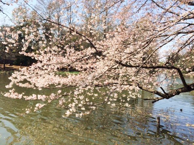 三宝寺池さくら