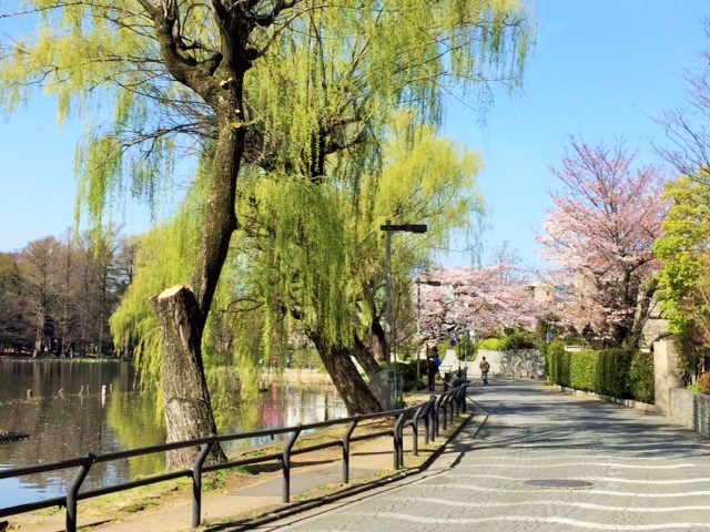 石神井公園さくら