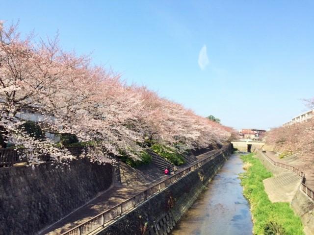 石神井川さくら