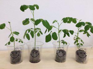 モリンガの栽培